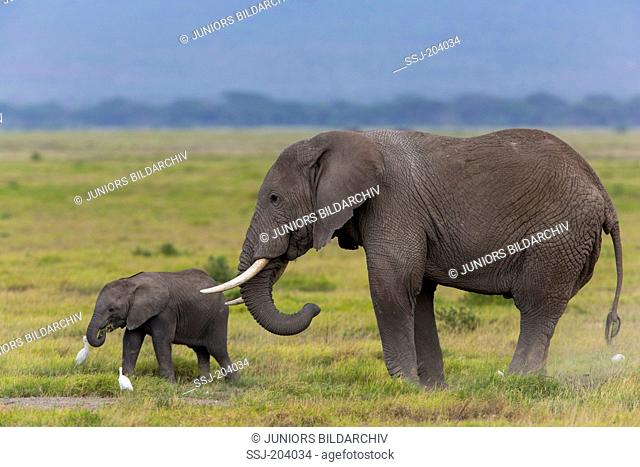 African Elephant (Loxodonta africana). Mother with calf in savannah. Amboseli National Park, Kenya