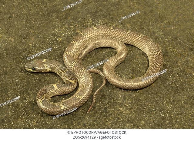 Colubridae, Common wolf snake, Lycodon aulicus, Bagafa FD. South Tripura