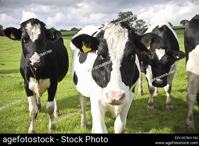 Black and white cows. Waltshire farm, UK