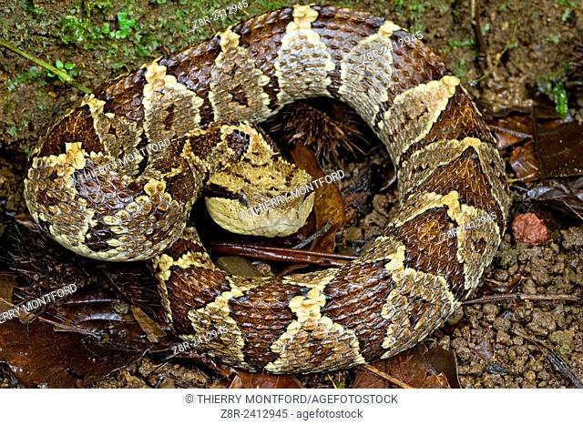 Atropoides nummifer. Jumping pit viper on the ground. Forest. Costa Rica