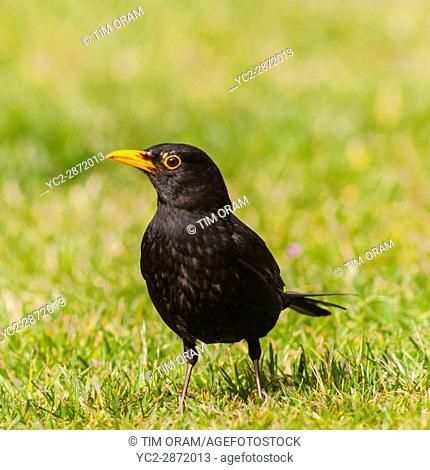 A Male Blackbird (Turdus merula) in the Uk