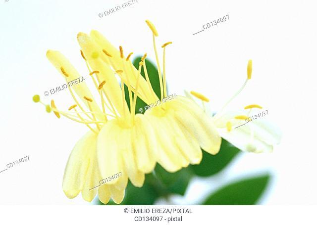 Honeysuckle, Lonicera