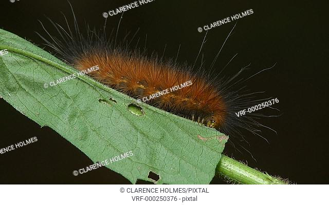 A Virginia Tiger Moth (Spilosoma virginica) caterpillar, also known as a Yellow Woolybear, feeds on a Goldenrod plant leaf in late summer