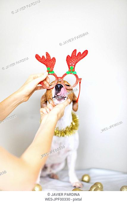 Woman's hand putting dog comedy glasses on