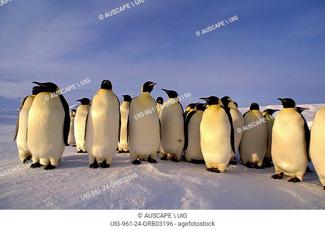 Emperor penguins, Aptenodytes forsteri, group of adults, Cape Roget, Ross Sea, Antarctica. (Photo by: Auscape/UIG)