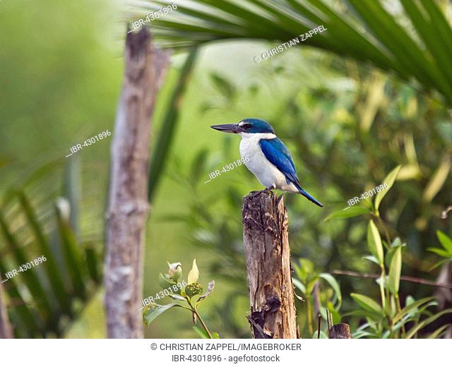 Collared kingfisher (Todiramphus chloris) on the lookout, Kho Kham, Samut Sakhon, Thailand
