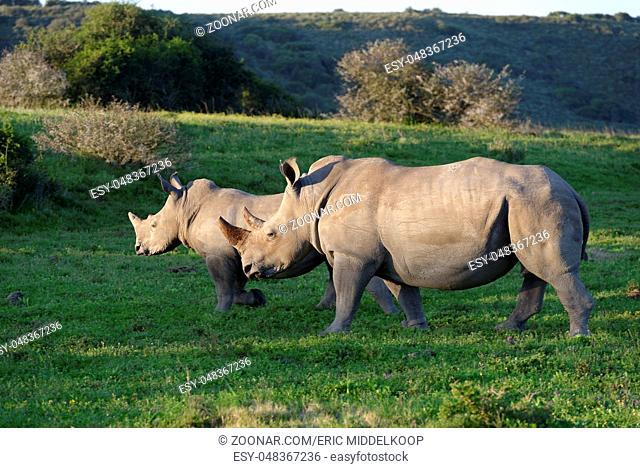 White Rhinoceros, Eastern Cape, South Africa