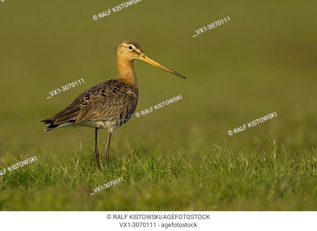 Adult Black-tailed Godwit ( Limosa limosa ) in breeding dress stands in high grass of a wet meadow, golden light, wildlife, Europe