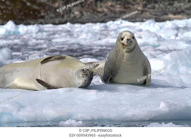 two crabeater seal on an ice floe