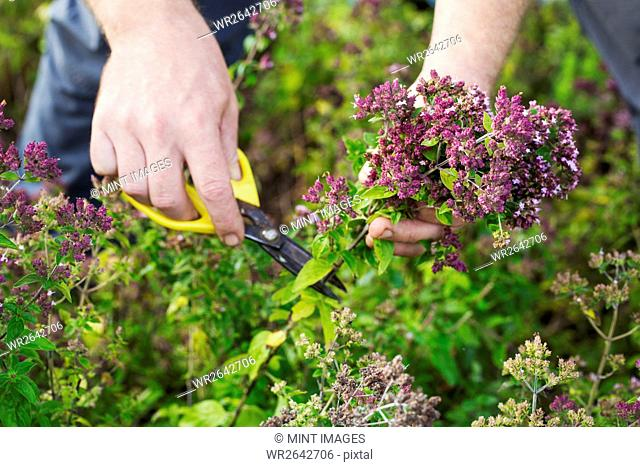 A gardener with scissors harvesting fresh herbs and salad plants