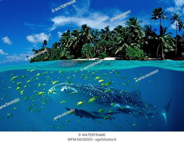 Whale Shark and Island, Rhincodon typus, Digital Composition