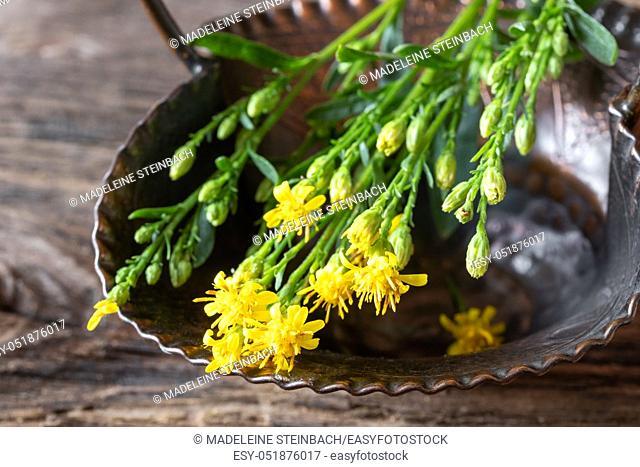 Fresh blooming European goldenrod, or Solidago virgaurea plant