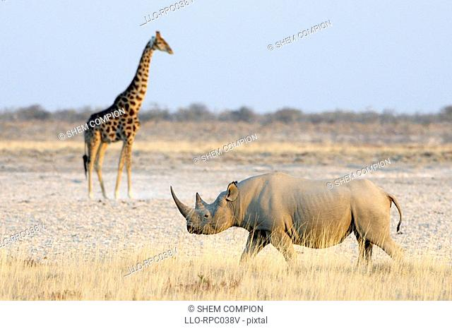 Low angle view of Black rhino Diceros bicornis and Giraffe Giraffa camelopardalis. Etosha National Park, Namibia