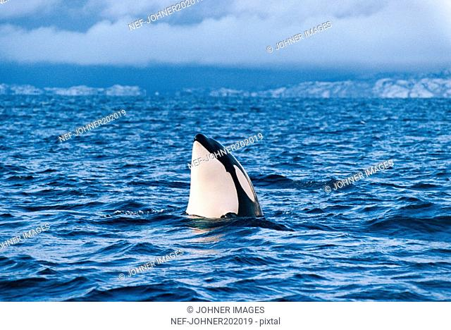 Killer whale, Norway