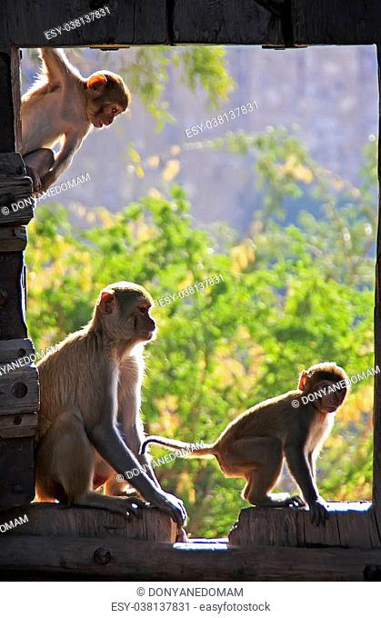 Rhesus macaques (Macaca mulatta) playing at the gate of Taragarh Fort, Bundi, Rajasthan, India