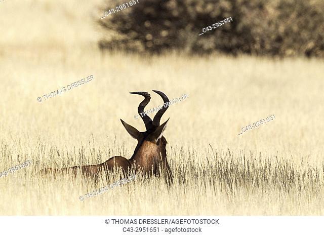 Red Hartebeest (Alcelaphus buselaphus caama). Resting. Kalahari Desert, Kgalagadi Transfrontier Park, South Africa