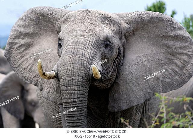 African elephant female head portrait (Loxodonta africana) Queen Elizabeth National Park, Uganda, Africa