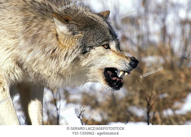 NORTH AMERICAN GREY WOLF canis lupus occidentalis, ADULT WITH KILL IN THREAT POSTURE, CANADA