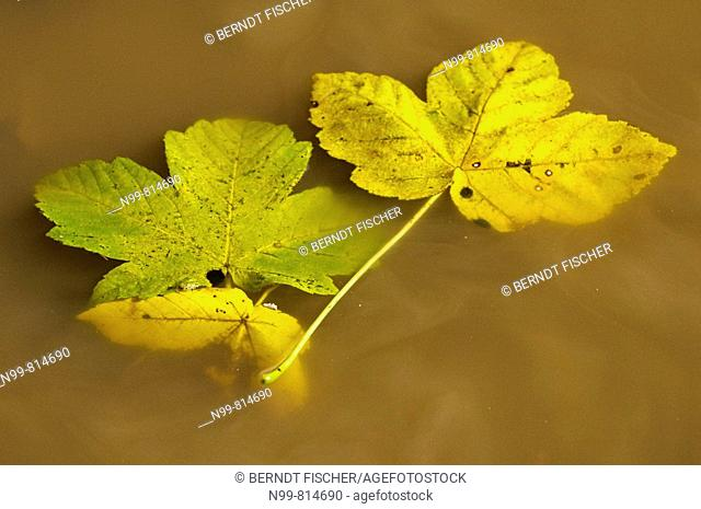 Maple leaves in water puddle, National Park Sumava, colours of autumn, Czech Republic