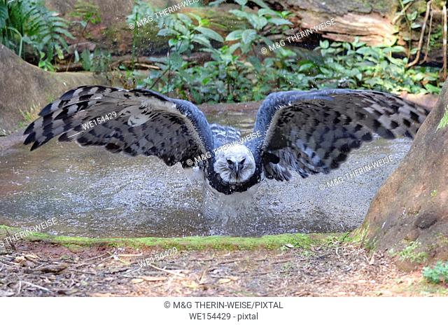 Harpy Eagle ((Harpia harpyia) flying from a pond, Brazil