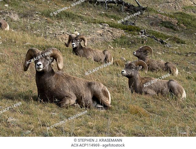 Bighorn sheep rams resting, (Ovis canadensis), Jasper National Park, Alberta, Canada