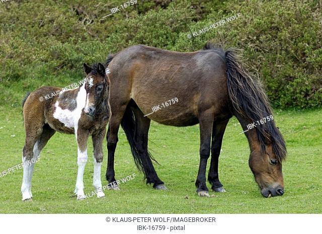 Dartmoor Pony mare with foal Dartmoor National Park Devon England