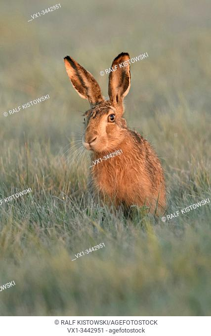 Brown Hare / European Hare / Feldhase ( Lepus europaeus ) sitting in grass, watching curious but carefully, first morning light, wildlife, Europe