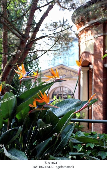 crane flower, bird of paradise flower, geel piesang Strelitzia reginae, building in a spa area at Florentiner Berg, Germany, Baden-Wuerttemberg, Baden-Baden