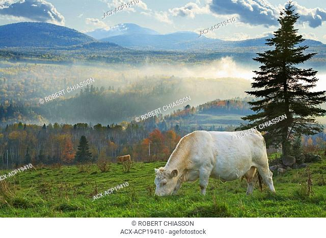 Cattle in valley in the foggy backcountry of Saint-IrA©nA©e, Charlevoix, Quebec, Canada