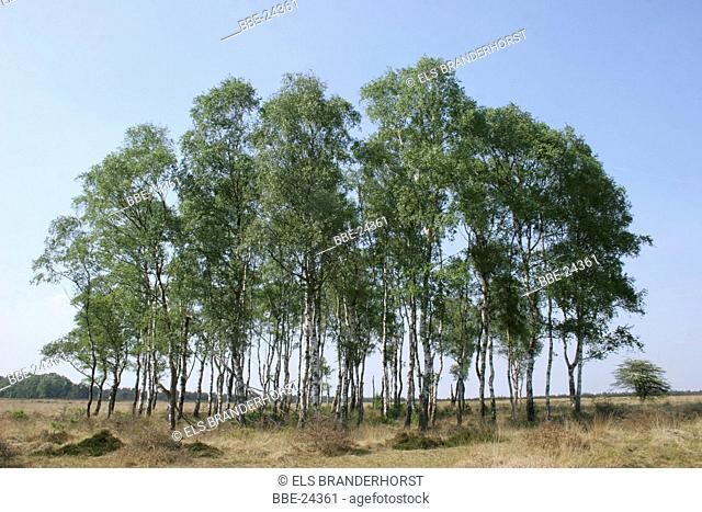 Birch forest at Deelense veld at spring
