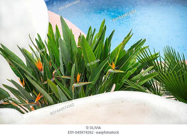 Bird of paradise flower. Strelitzia Reginae flowers