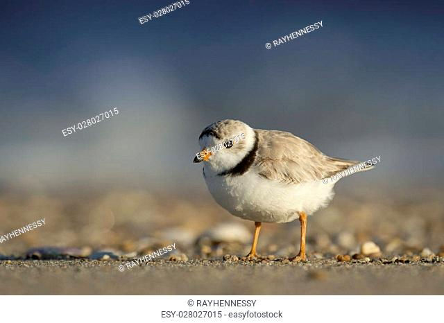 An endangered Piping Plover stands on a sandy beach with early sunlight shining on it