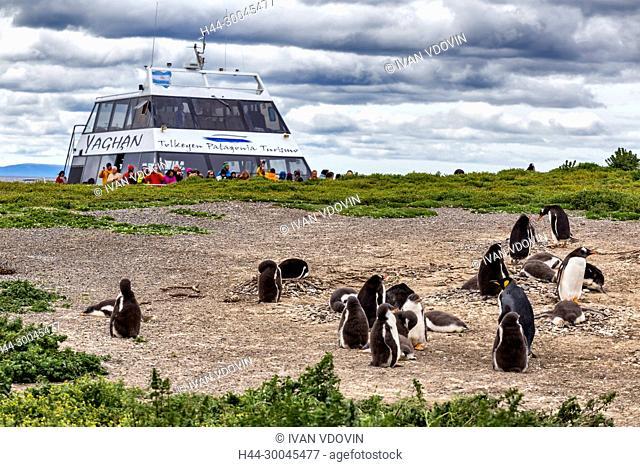 Magellanic Penguins, Martillo Island, Tierra del Fuego National park, Isla Grande del Tierra del Fuego, Tierra del Fuego, Antartida e Islas del Atlantico Sur