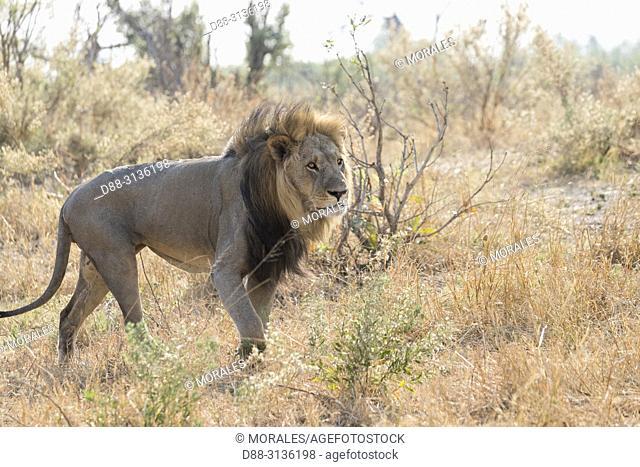 Africa, Southern Africa, Bostwana, Savuti National Park, Lion (Panthera leo), adult male resting in the savannah, walking