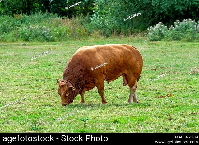 Great Britain, Oxfordshire, Cotswolds, Kelmscott near Lechlade, Limousin cattle, Limousin cattle on pasture, polled beef cattle
