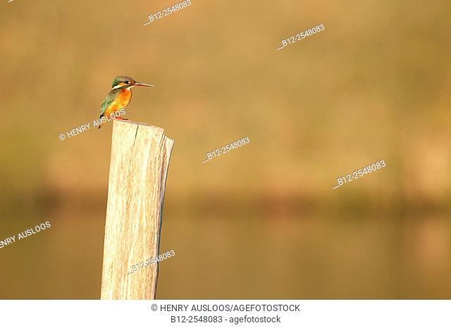 Common kingfisher (Alcedo atthis) Thailand