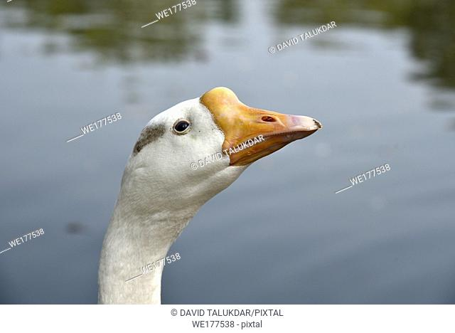 Head and neck of a goose