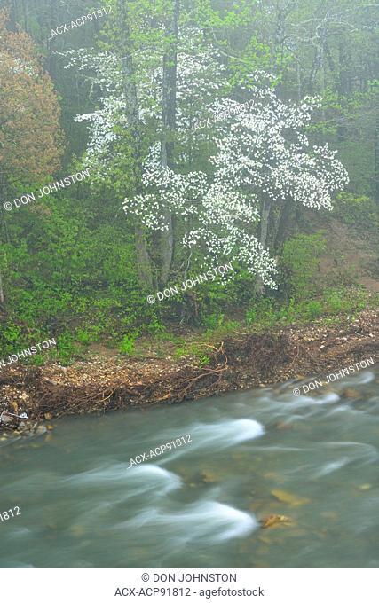 Flowering dogwood on the Buffalo River in morning fog, Buffalo National River, Arkansas, USA
