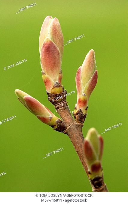 Field maple leaf buds opening (Acer compestre) close up England UK