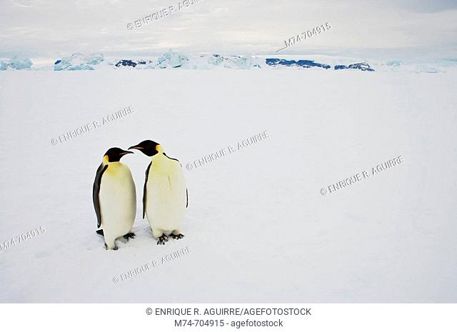 Emperor Penguin Aptenodytes forsteri, adult at Snow Hill Island, Weddel Sea, Antarctica