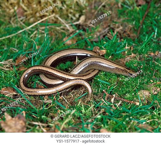 Slow Worm, anguis fragilis, Adult standing on Grass