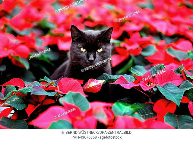 Cat Elmo sits amid red Christmas stars in the greenhouse of the Nordflor horticulture company in Barth, Germany, 29 October 2013