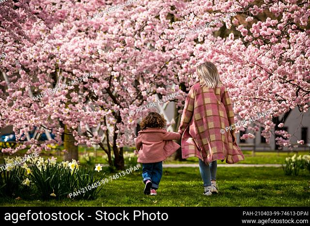 03 April 2021, Lower Saxony, Hanover: A mother walks with her daughter past blossoming cherry blossom tree in spring-like weather