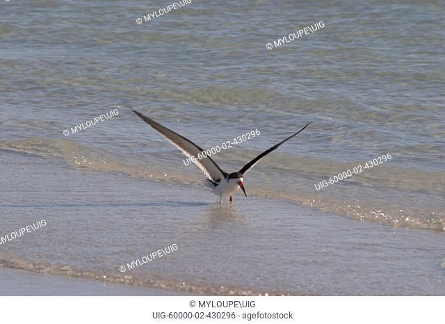 BLACK SKIMMER RYNCHOPS NIGER ALSO KNOW AS RAZORBILL OR SCISSORBILL FLYING OVER GULF OF MEXICO AT SIESTA KEY BEACH, FLORIDA