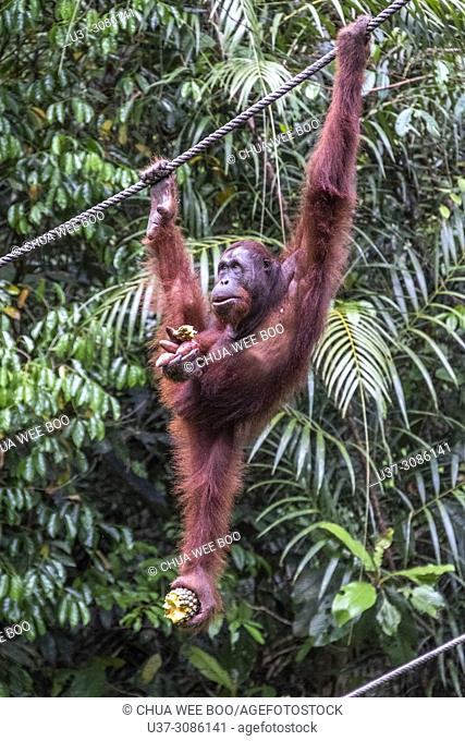 Orang utan in Semengok Wildlife Centre, Sarawak, Malaysia