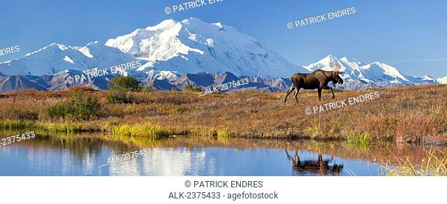 Bull moose on the autumn colored tundra by a small kettle pond with the summit of Mt McKinley in the distance, Denali National Park, Alaska