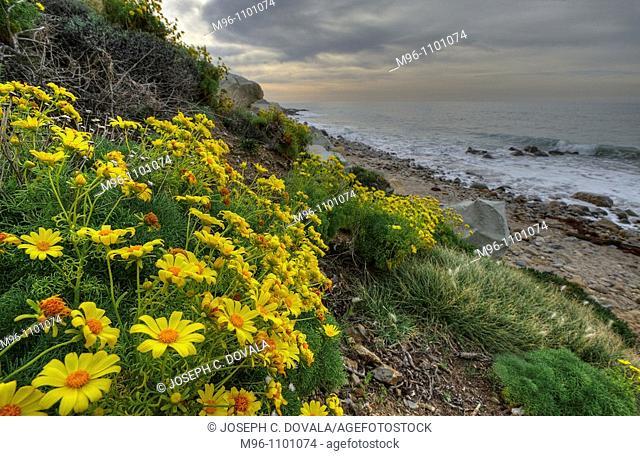 Wild daisies at beach, Deer Creek, Malibu, California, USA