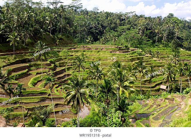 Rice terrace in Ubud, Bali, Indonesia
