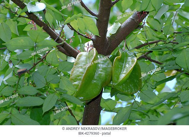 Star fruit, carambola (Averrhoa carambola), Taman Negara National Park, Malaysia