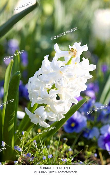 White hyacinth in the flowerbed